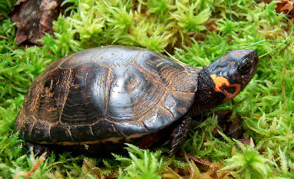 <strong>Bog turtle can be found on quarry site</strong> These turtles help ecosytem. Their presence indicates that our ecosystem is healthy.